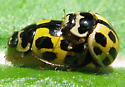 Fourteen-spotted Lady Beetles  - Propylea quatuordecimpunctata - male - female