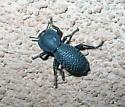 Bumpy black bug - Zopherus concolor