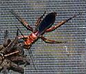Is this Tachypompilus unicolor? - Tachypompilus ferrugineus - female