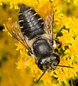 Leaf Cutter Bee - Megachile mendica - female