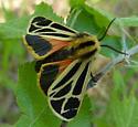 Tiger moth: Grammia anna? - Apantesis