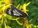 Butterfly - Gnophaela vermiculata