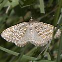 Rheumaptera? - Xanthorhoe columelloides