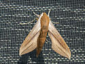 Moth? - Xylophanes tersa