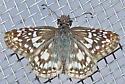 Pyrgus oileus - female