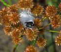 jumper - Phidippus regius - female