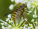 Is this golden furred horse fly Stonemyia tranquilla? - Stonemyia tranquilla