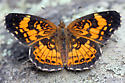 Great Falls Butterfly - Chlosyne nycteis - male