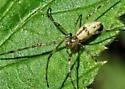 Spider (Araneae) - Tetragnatha