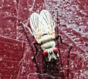 Fly on Side of a Truck - Anthomyia illocata