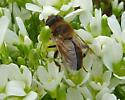 Fly on tundra - Eristalis tenax