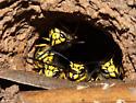 In nest entrance on a cool evening - Vespula pensylvanica