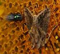 Noctuidae - Autographa precationis