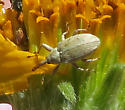 Unidentified Weevil - Anthonomus