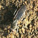 Diptera Coelopa ? on a rock, Moonstone Beach, Cambria, Ca - Fucellia