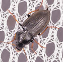 Beetle for ID - Amphasia sericea