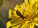Syrphid fly  489A 1603 - Toxomerus occidentalis