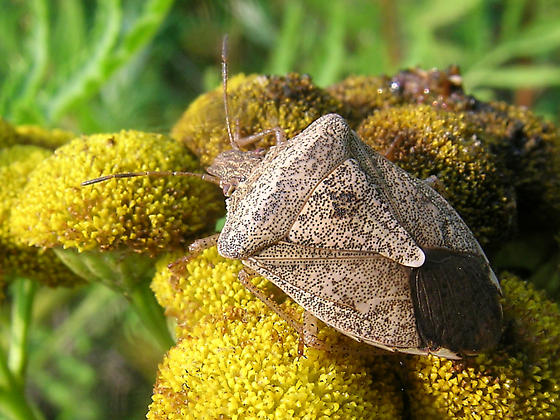 Brown Stink Bug - Euschistus servus