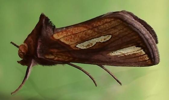Noctuidae: Plusia nichollae? - Plusia contexta