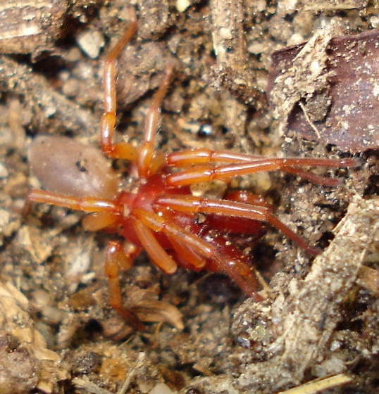 red legged spider w/ tan abdomen - Dysdera crocata