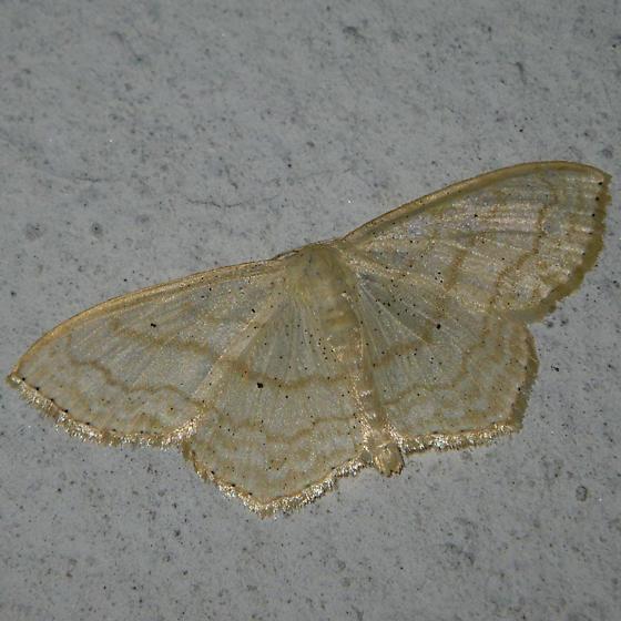 moth3 - Scopula limboundata