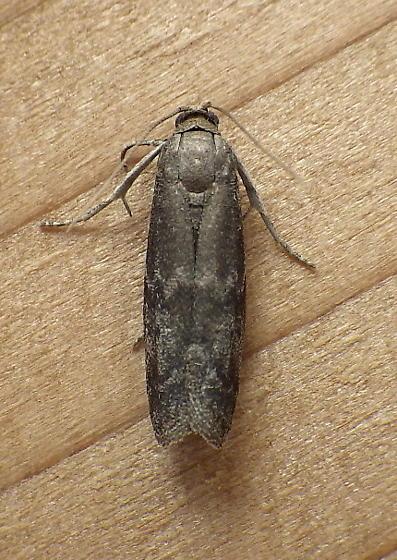 Pyralidae: Eurythmia angulella - Eurythmia angulella