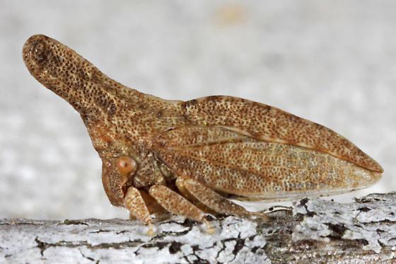 Philya californiensis ? - Philya californiensis