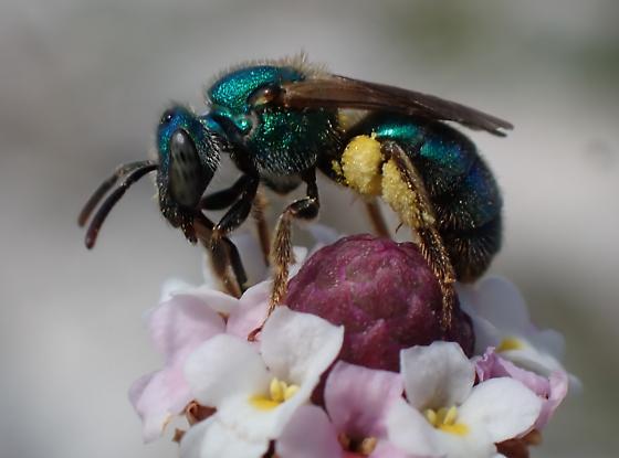 Augochlorella? - female