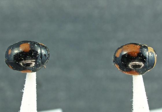 Hyperaspis pair - Hyperaspis jovialis - male - female