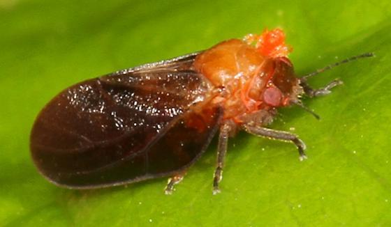 tiny true bug - Pachypsylla celtidisgemma