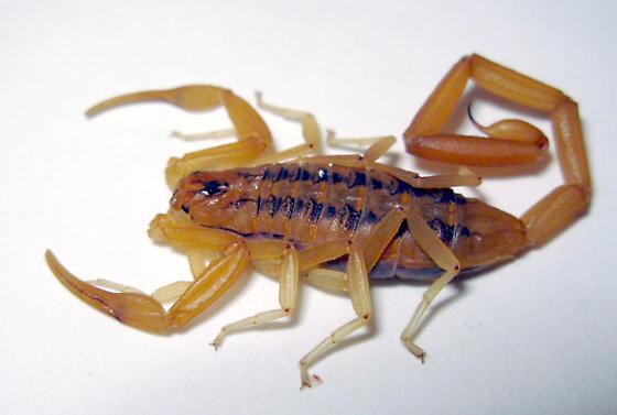 Centruroides sculpturatus,
