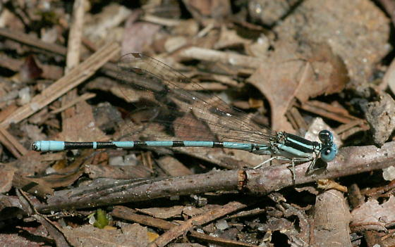 Seepage Dancer - Argia bipunctulata - male