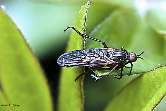 Dance Fly - Empis - male