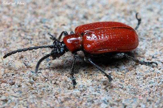 A juvenile click beetle?   - Lilioceris lilii
