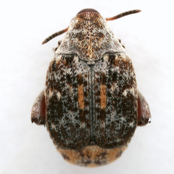 Merobruchus