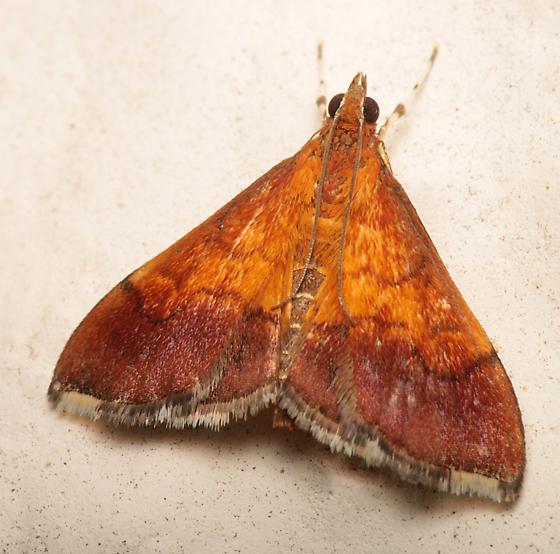 Pyrausta bicoloralis? - Pyrausta bicoloralis