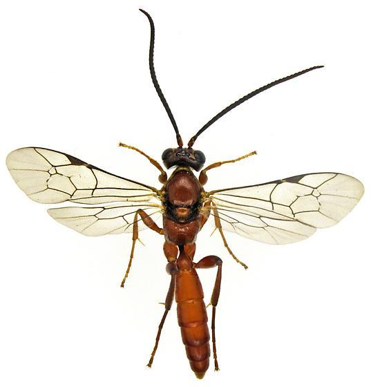 Male, Ichneumonidae? - male