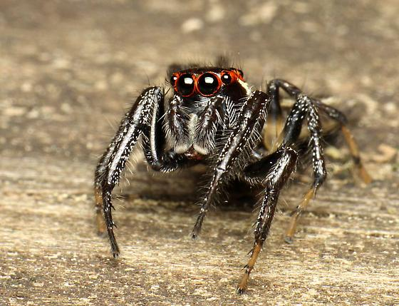Jumping spider from northeast Georgia - Colonus