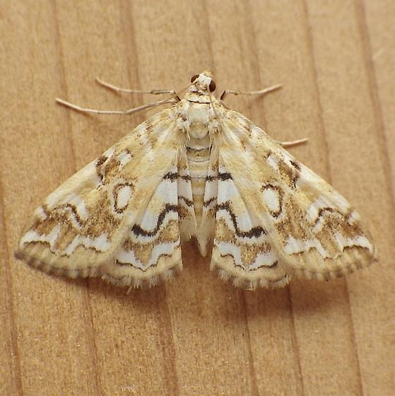 Crambidae: Elophila icciusalis - Elophila icciusalis