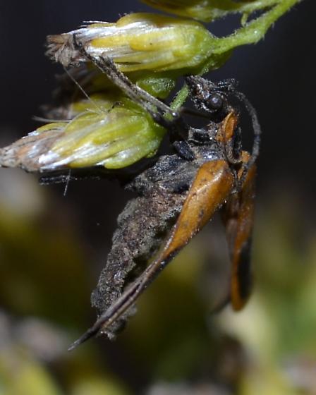 victim of fungus? - Chauliognathus pensylvanicus
