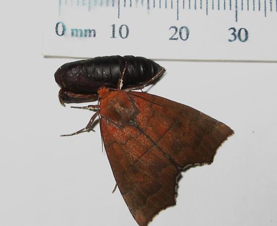 Hibiscus moth adult - Rusicada privata