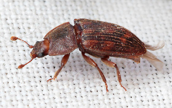 Beetle - Phenolia grossa