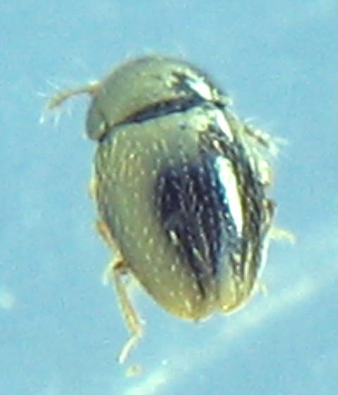 Tiny bristle-antennaed beetle - Ptenidium