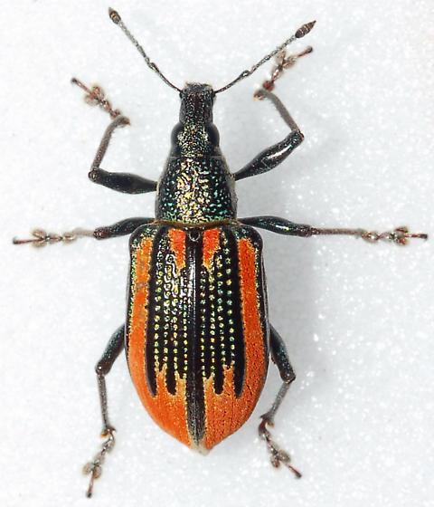 Bright Orange - Diaprepes abbreviatus