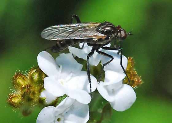 March fly? No, dance fly. - Rhamphomyia