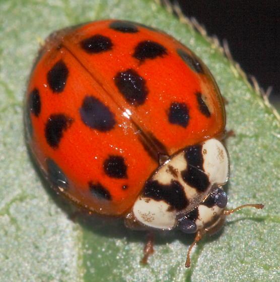 Pron brother asian ladybug genus species name teen