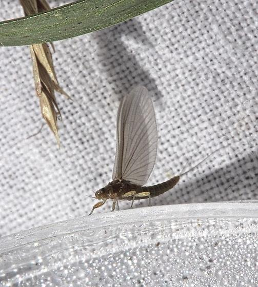Acentrella nadinae - Acentrella nadineae