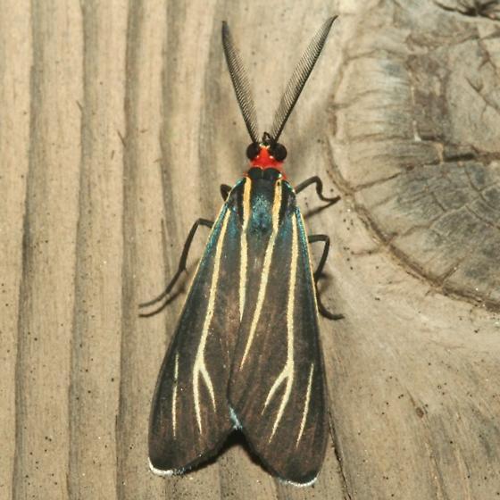 Moth - Ctenucha venosa
