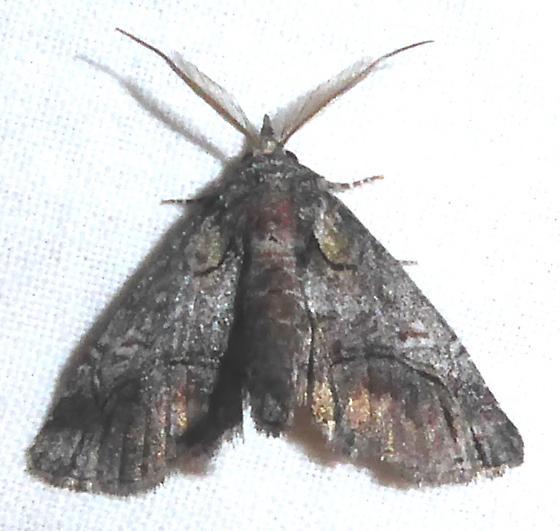 uknown moth - Paectes - male