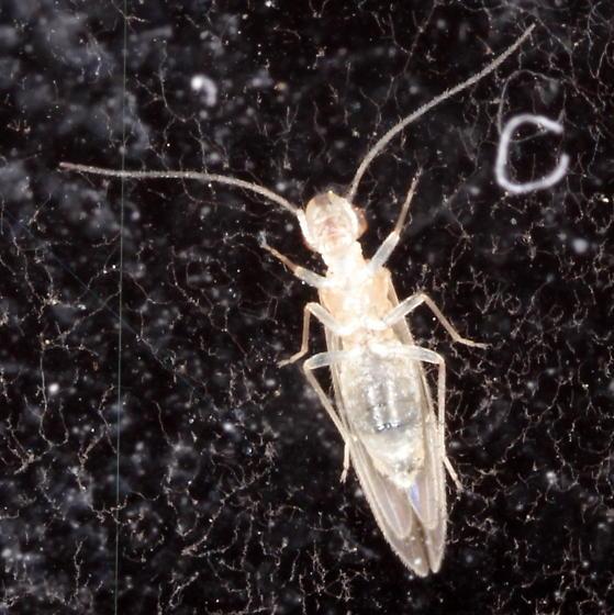 Stenocaecilius casarum - female
